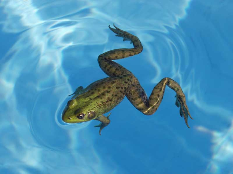 How to keep frogs out of my swimming pool - How long after you shock a pool can you swim ...