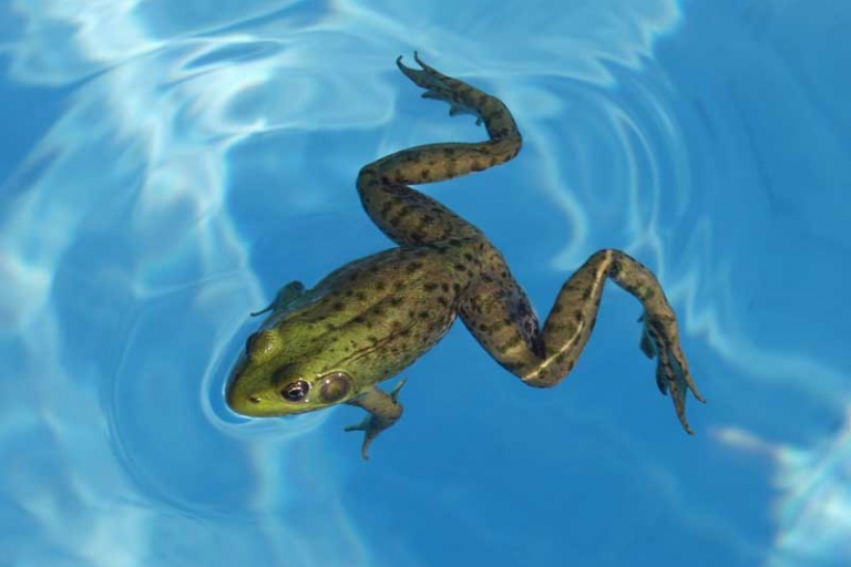 keep frogs away from swimming pool