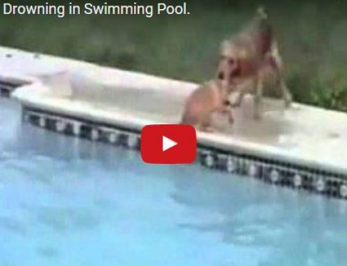 Not All Dogs Can Swim – Protect Your Dog from Drowning in Your Pool
